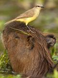 Cattle Tyrant and Capybara  Pantanal  Brazil