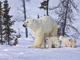 Mother Polar Bear with Three Cubs on the Tundra  Wapusk National Park  Manitoba  Canada