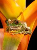 Big Eye Treefrog  Leptopelis Vermiculatus  Native to Eastern Africa