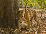Bengal Tiger  Madhya Pradesh  Bandhavgarh National Park  India