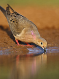 Mourning Dove  Texas  USA