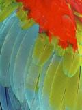 Scarlet Macaw (Ara Macao), Argentina Papier Photo par Andres Morya Hinojosa