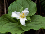 Western Trillium  Grand Forest Bainbridge Island Land Trust Park  Bainbridge Island  Washington USA