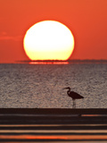 Great Heron  Laguna Madre  Texas  USA