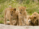 Lioness with Cubs  Serengeti National Park  Tanzania