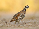 Northern Bobwhite Quail  Texas  USA