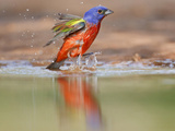 Painted Bunting  Texas  USA