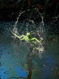 Green Basilisk or Plumed Basilisk Running on Water (Basiliscus Plumifrons)  Costa Rica