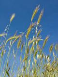 Wheat Field  Siena Province  Tuscany  Italy