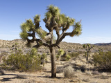 Joshua Tree  Joshua Tree National Park  California  USA