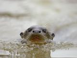 Giant River Otter  Pantanal  Brazil