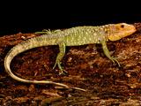 Caiman Lizard  Dracaena Guianensis  Native to Northeastern South America