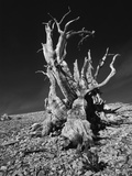 Ancient Bristlecone Pine Tree on Rocky Slope of White Mountains  Inyo Nat&#39;l Forest  California  USA