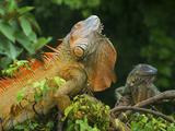 Green Iguanas (Iguana Iguana)  Costa Rica
