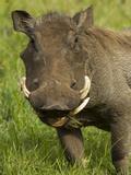 Warthog  Ngorongoro Crater  Serengeti National Park  Tanzania