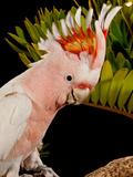 Major Mitchell's Cockatoo  Lophochroa Leadbeateri  Native to Australia