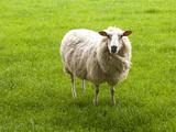 Sheep  Wairarapa  New Zealand