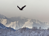 Bald Eagles  Chilkat Bald Eagle Preserve  Alaska  USA