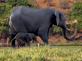 African Elephant (Loxodonta Africana)  Mother and Baby in Chobe National Park  Botswana