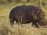 Hippopotamus  Ngorongoro Crater  Serengeti National Park  Tanzania