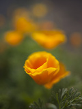 Orange California Poppy with Isolated Selective Focus  Washington  USA