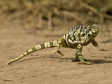 Flap-Necked Chameleon  Serengeti National Park  Tanzania