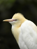 Cattle Egret (Ardea Ibis)  North Queensland  Australia