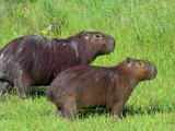 Capybara (Hydrochoerus Hydrochaeris)  Corrientes  Argentina