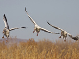 Snow Geese in Flight  New Mexico  USA