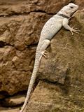 Desert Spiney Lizard  Sceloporus Magister Ssp  Native to South Western Us