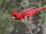 Northen Cardinal Perched on Branch  Texas  USA