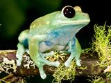 Maroon Big Eye Treefrog Leptopelis Uluguliensis Native to Eastern Africa