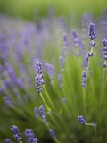 Lavender Plants  Washington  USA