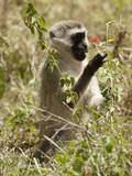 Vervet Monkey  Ngorongoro Crater  Tanzania