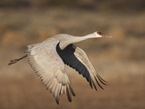 Sandhill Crane in Flight   New Mexico  USA