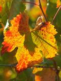 Autumn Vine Leaf  Vineyard  Near Bright  Victoria  Australia