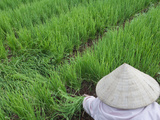 Farmers with Conical Hat Harvesting Green Onions  Vietnam