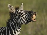 Zebra  Ngorongoro Crater  Serengeti National Park  Tanzania