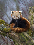 Red Panda (Ailurus Fulgens)  Himalayas
