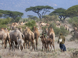 Camels on the Plain  Samburu National Reserve  Kenya