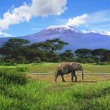 A Lone African Elephant (Loxodonta Africana) by Mt Kilimanjaro  Amboseli Nat'l Park  Kenya