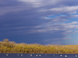 White Pelicans on Calamus Reservoir in Loup County  Nebraska  USA