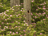 Pacific Coast Rhododendron  Florence  Oregon  USA