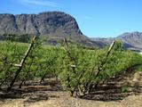 Vineyards of Franschoek  Cape Wine Lands  Western Cape  South Africa