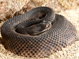 Western Diamondback Rattlesnake  Crotalus Atrox  Native to Southwestern Us