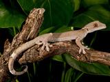 White Line (Skunk) Gecko  Gecko Vittatus  Native to Indonesia