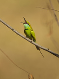 Green Bee-Eater  Madhya Pradesh  Kanha National Park  India