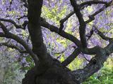 Cherry Tree in Bloom  Portland Japanese Garden  Portland  Oregon  USA