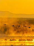 Sandhill Cranes  Bosque Del Apache National Wildlife Refuge  New Mexico  USA