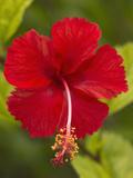 Red Hibiscus  Hibiscus Rosa-Sinensis  Belize